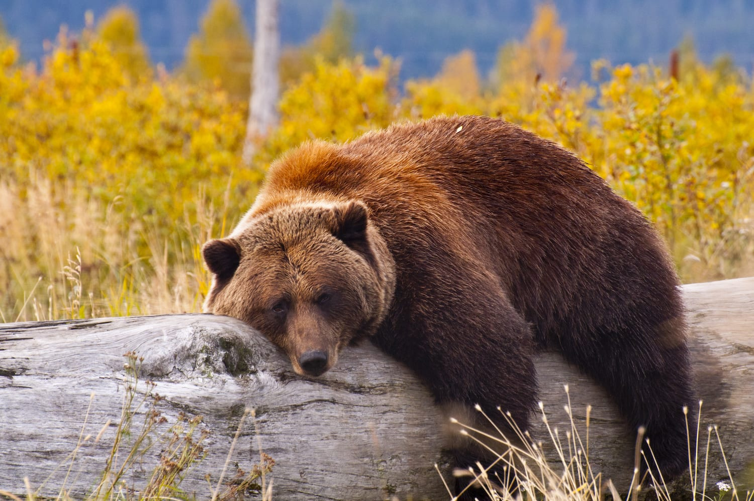 grizzly bear taking a nap on a log