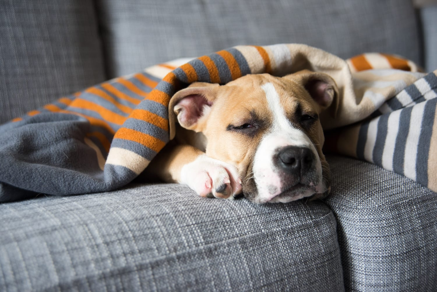 Dog sleeping on couch with blanket